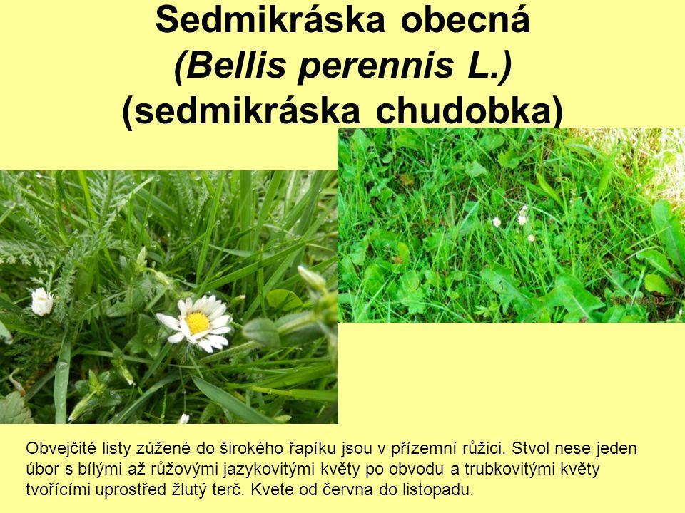 Sedmikráska obecná (Bellis perennis L.) (sedmikráska chudobka)