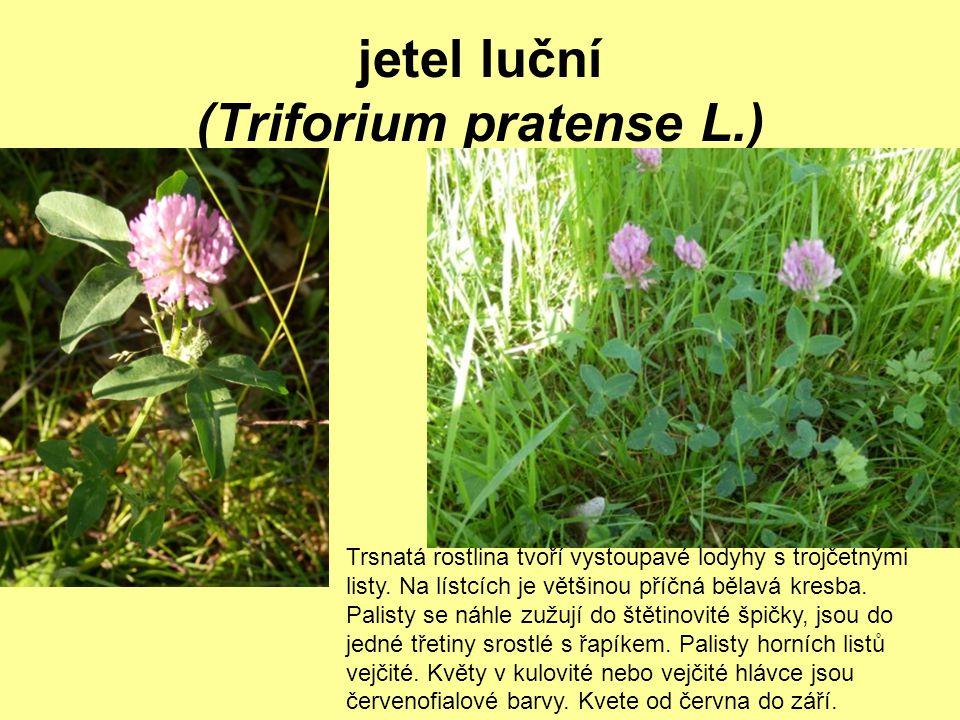 jetel luční (Triforium pratense L.)