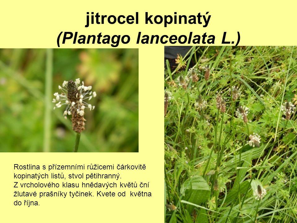 jitrocel kopinatý (Plantago lanceolata L.)