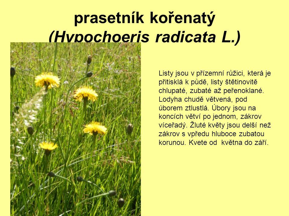 prasetník kořenatý (Hypochoeris radicata L.)
