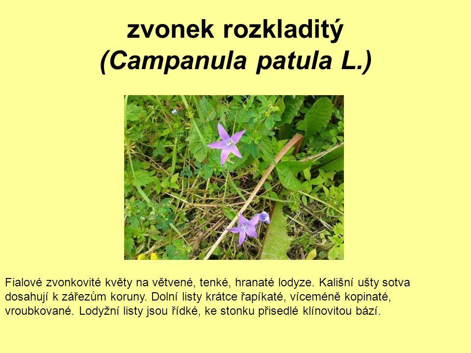 zvonek rozkladitý (Campanula patula L.)