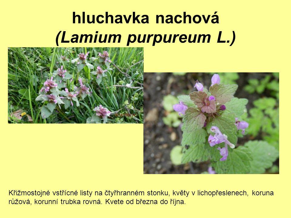 hluchavka nachová (Lamium purpureum L.)