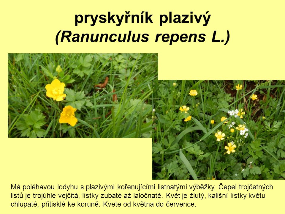pryskyřník plazivý (Ranunculus repens L.)
