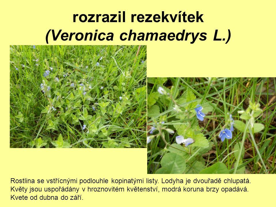 rozrazil rezekvítek (Veronica chamaedrys L.)