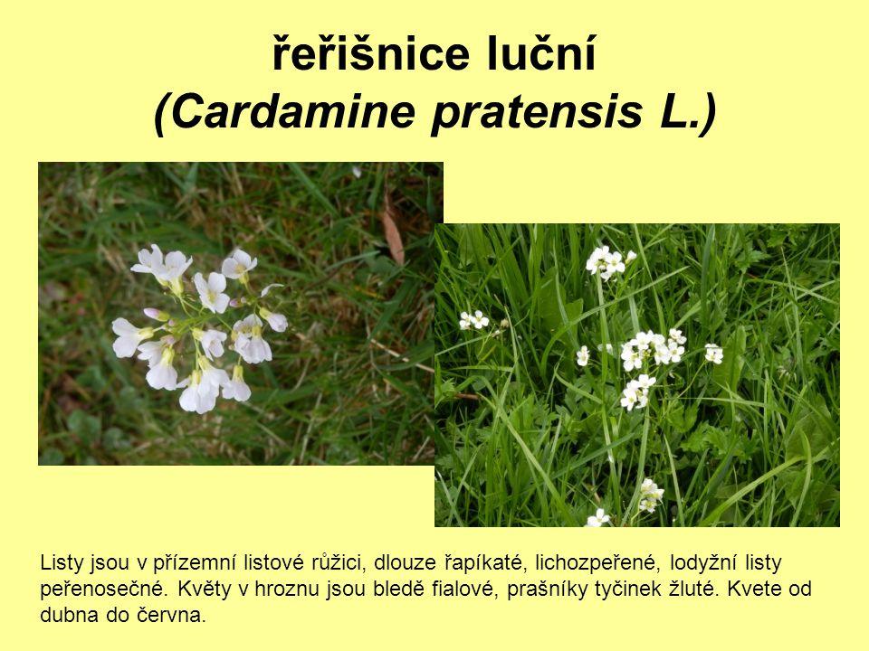 řeřišnice luční (Cardamine pratensis L.)