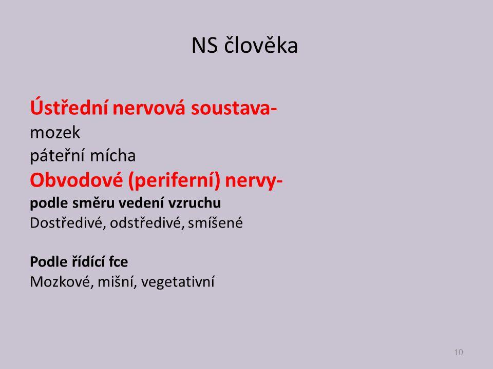 NS člověka Ústřední nervová soustava- Obvodové (periferní) nervy-