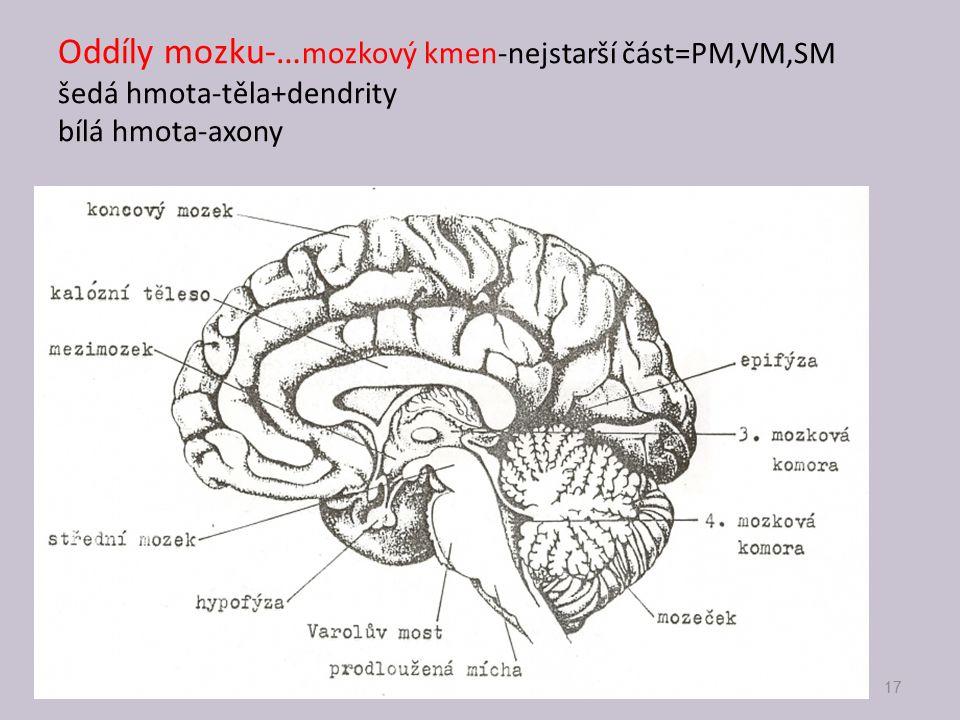 Oddíly mozku-…mozkový kmen-nejstarší část=PM,VM,SM šedá hmota-těla+dendrity bílá hmota-axony