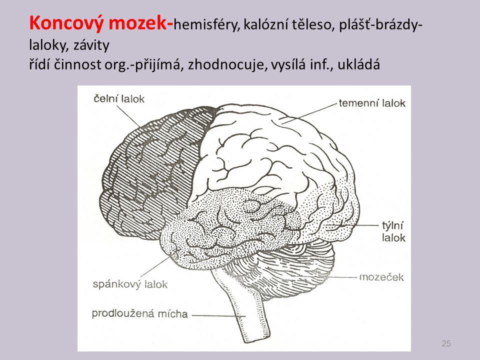 Koncový mozek-hemisféry, kalózní těleso, plášť-brázdy-laloky, závity