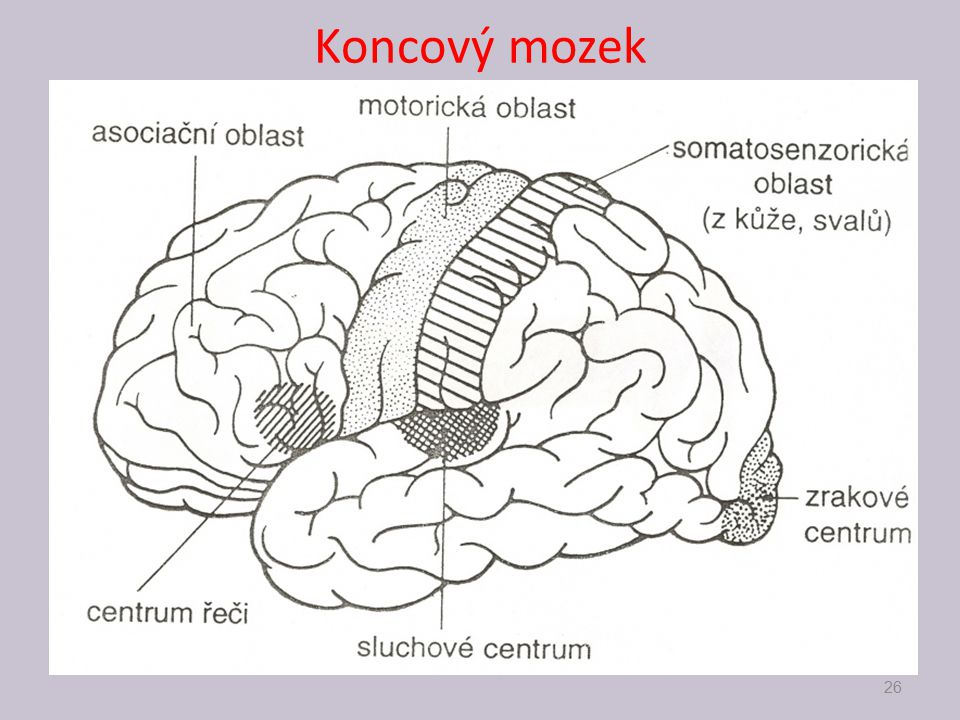 Koncový mozek 26