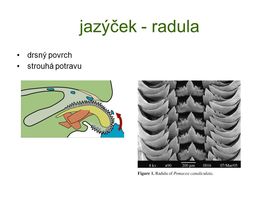 jazýček - radula drsný povrch strouhá potravu