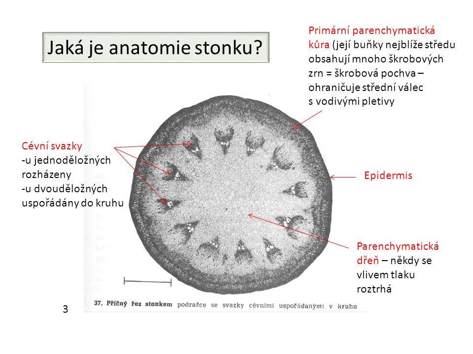Jaká je anatomie stonku
