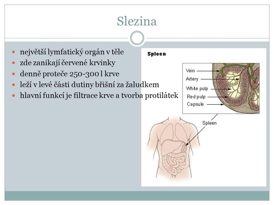 Slezina největší lymfatický orgán v těle zde zanikají červené krvinky