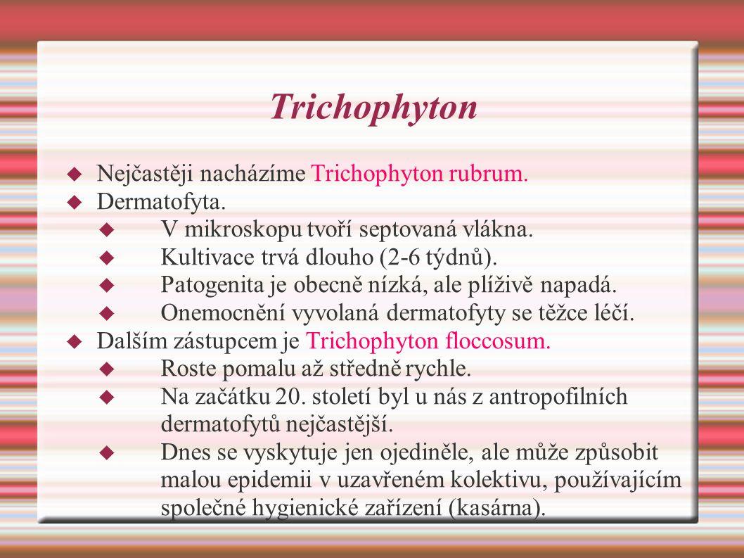 Trichophyton Nejčastěji nacházíme Trichophyton rubrum. Dermatofyta.