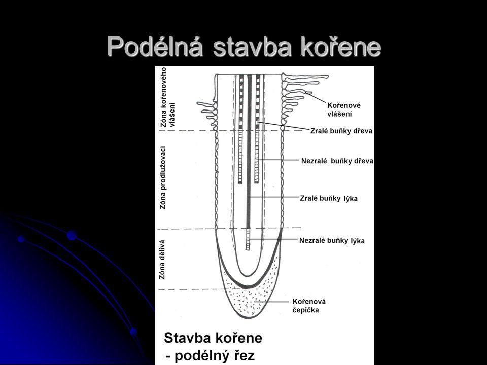 Podélná stavba kořene