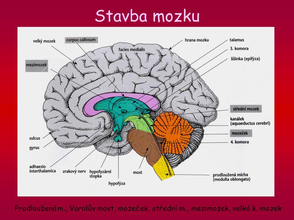 Stavba mozku Prodloužená m., Varolův most, mozeček, střední m., mezimozek, velká k. mozek