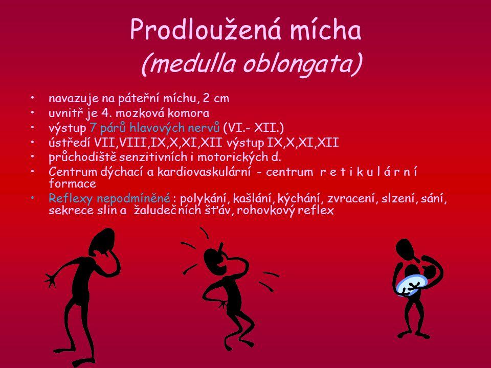 Prodloužená mícha (medulla oblongata)