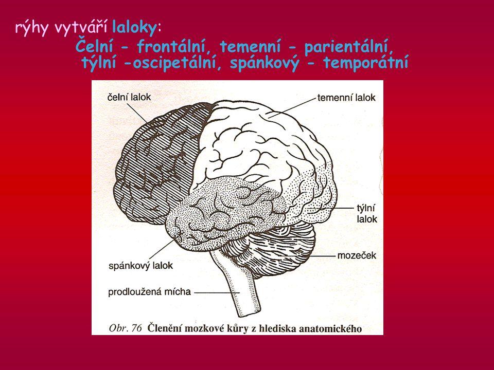 rýhy vytváří laloky: Čelní - frontální, temenní - parientální, týlní -oscipetální, spánkový - temporátní.