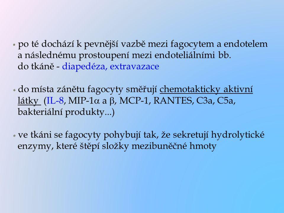 * po té dochází k pevnější vazbě mezi fagocytem a endotelem a následnému prostoupení mezi endoteliálními bb.