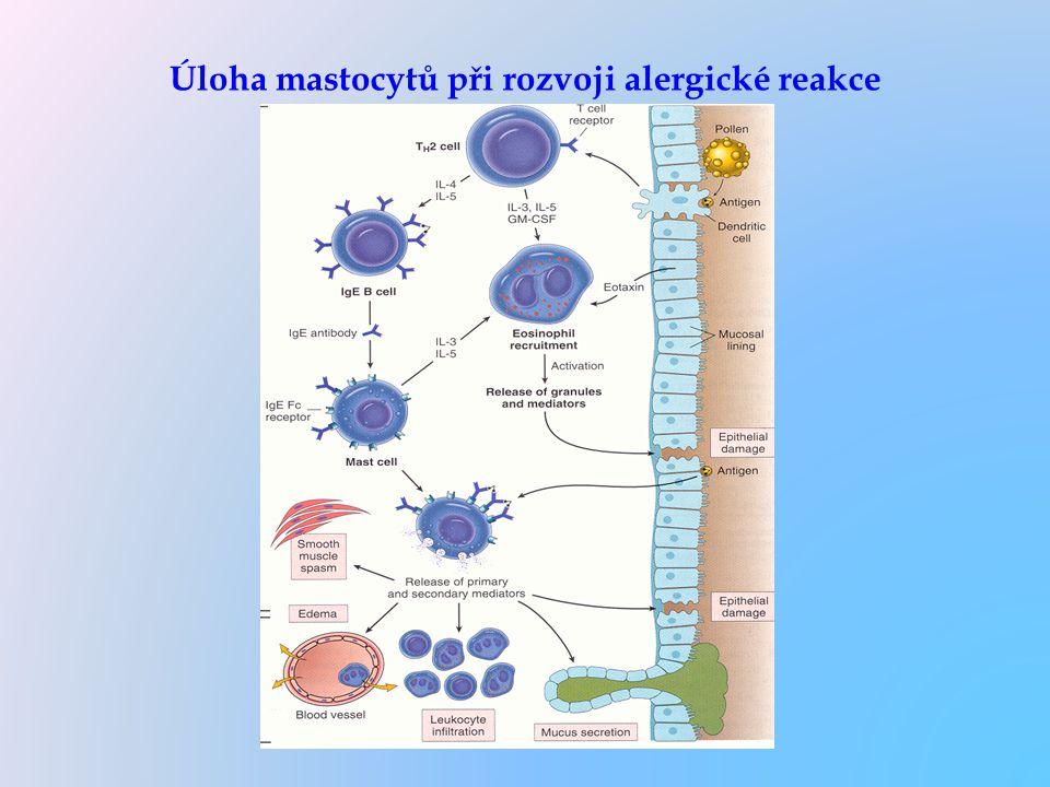 Úloha mastocytů při rozvoji alergické reakce