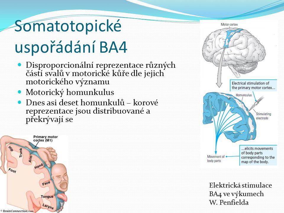 Somatotopické uspořádání BA4