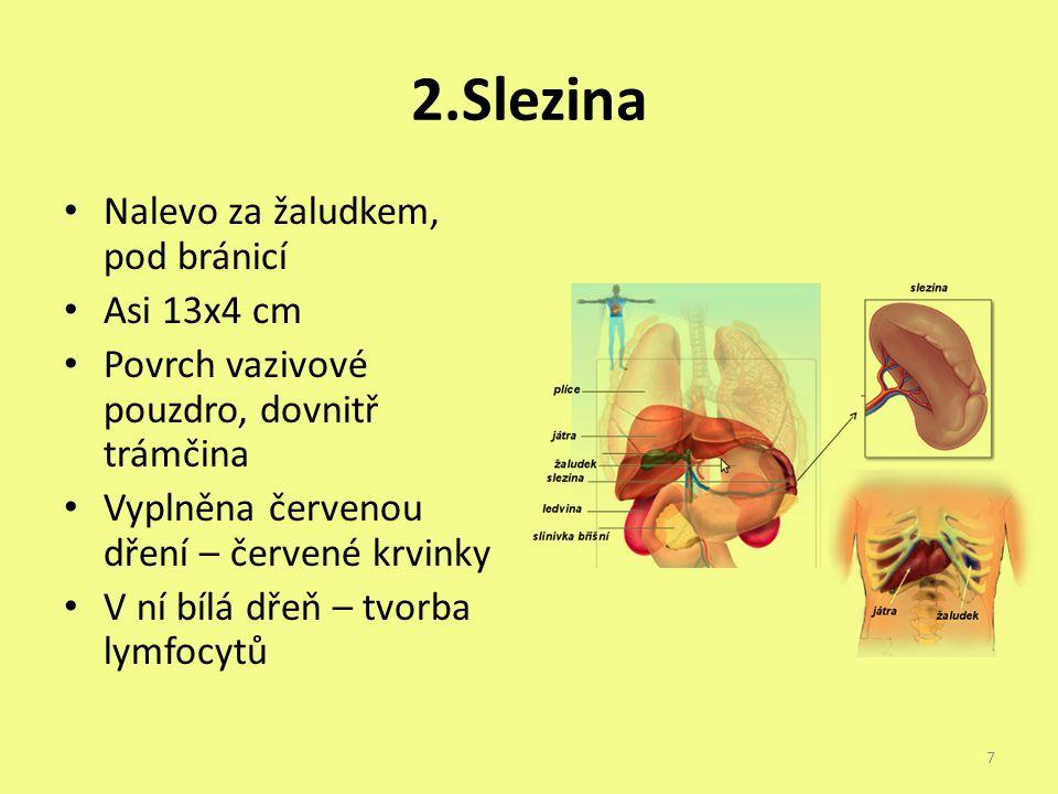 2.Slezina Nalevo za žaludkem, pod bránicí Asi 13x4 cm