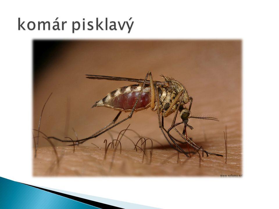 komár pisklavý