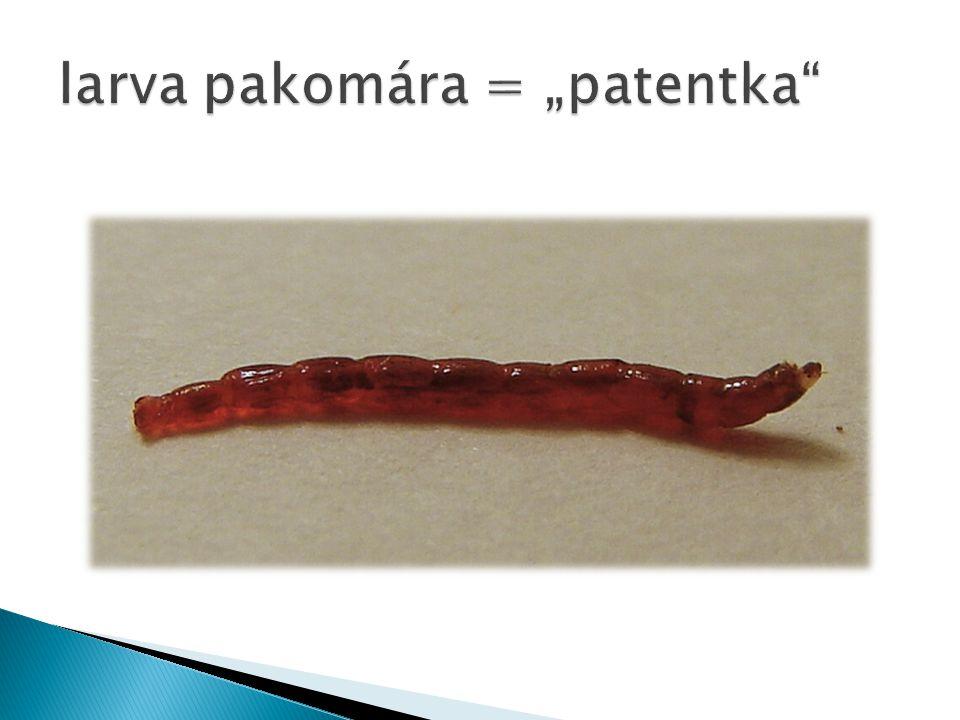 "larva pakomára = ""patentka"