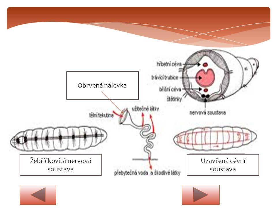Žebříčkovitá nervová soustava Uzavřená cévní soustava