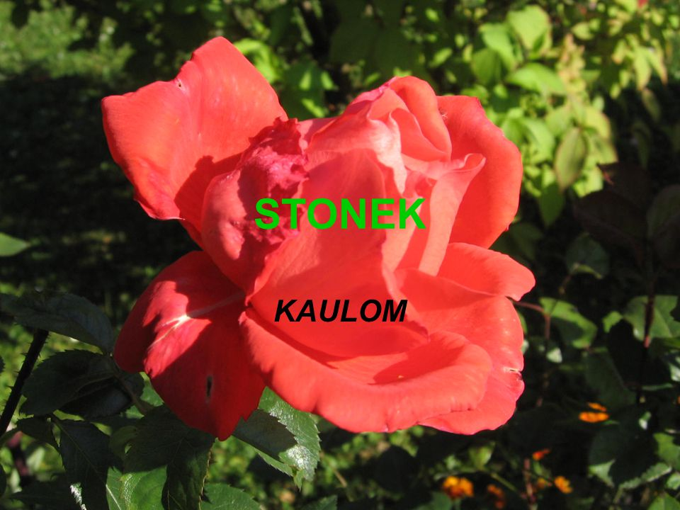 STONEK KAULOM
