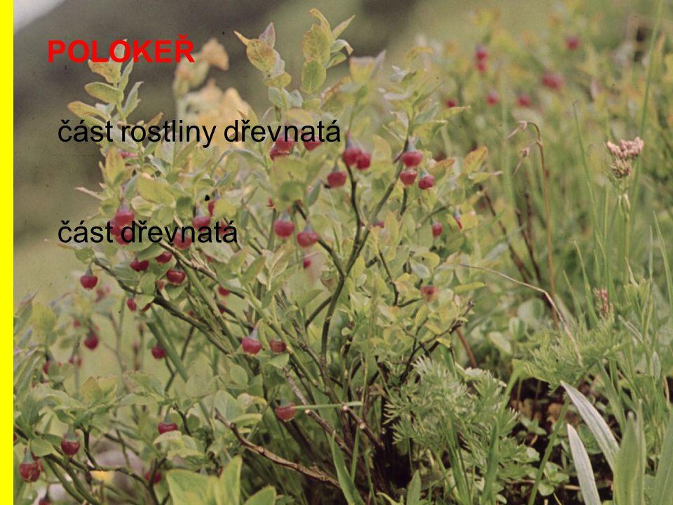 POLOKEŘ část rostliny dřevnatá část dřevnatá