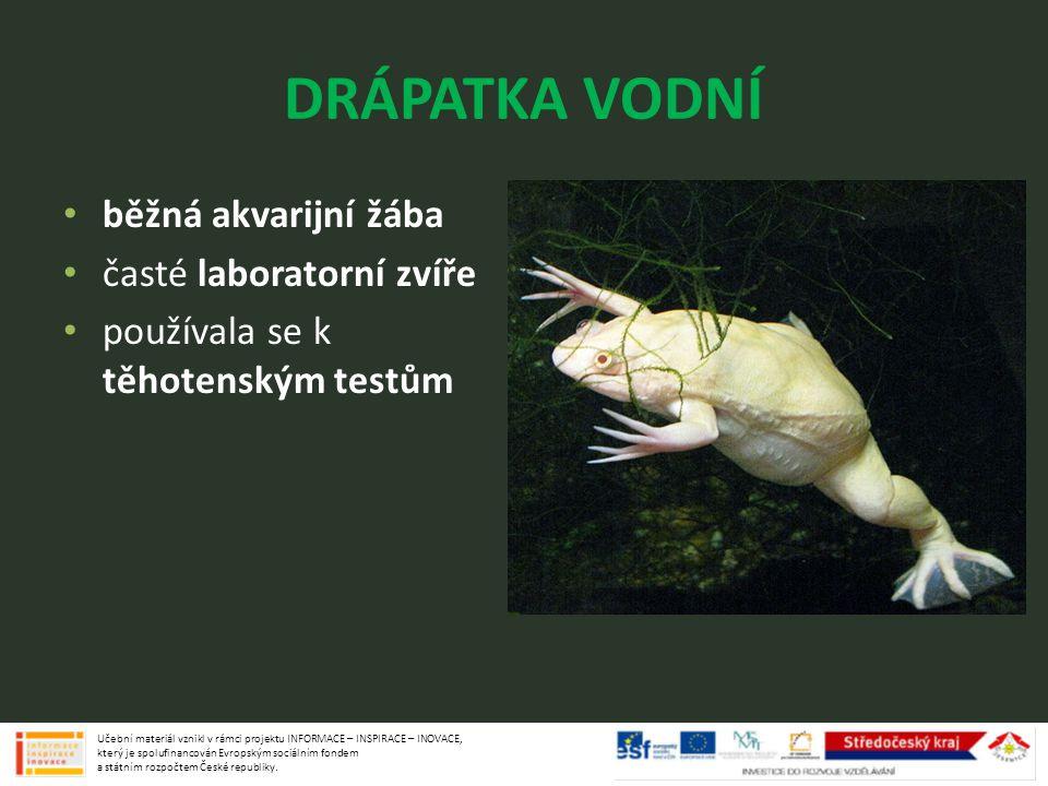 DRÁPATKA VODNÍ běžná akvarijní žába časté laboratorní zvíře