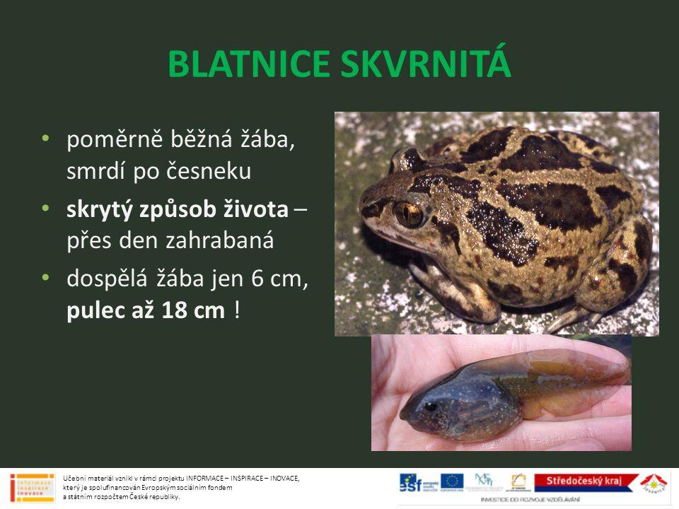 BLATNICE SKVRNITÁ poměrně běžná žába, smrdí po česneku