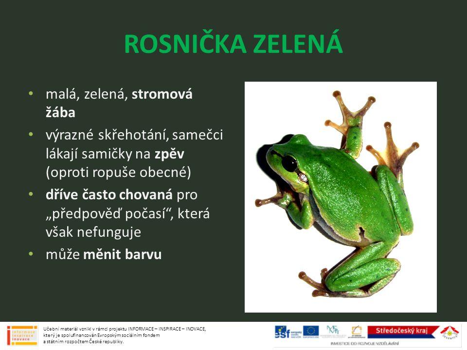 ROSNIČKA ZELENÁ malá, zelená, stromová žába