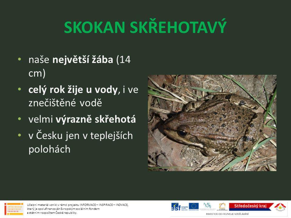 SKOKAN SKŘEHOTAVÝ naše největší žába (14 cm)