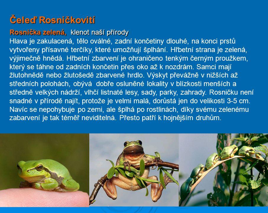 Čeleď Rosničkovití Rosnička zelená, klenot naší přírody
