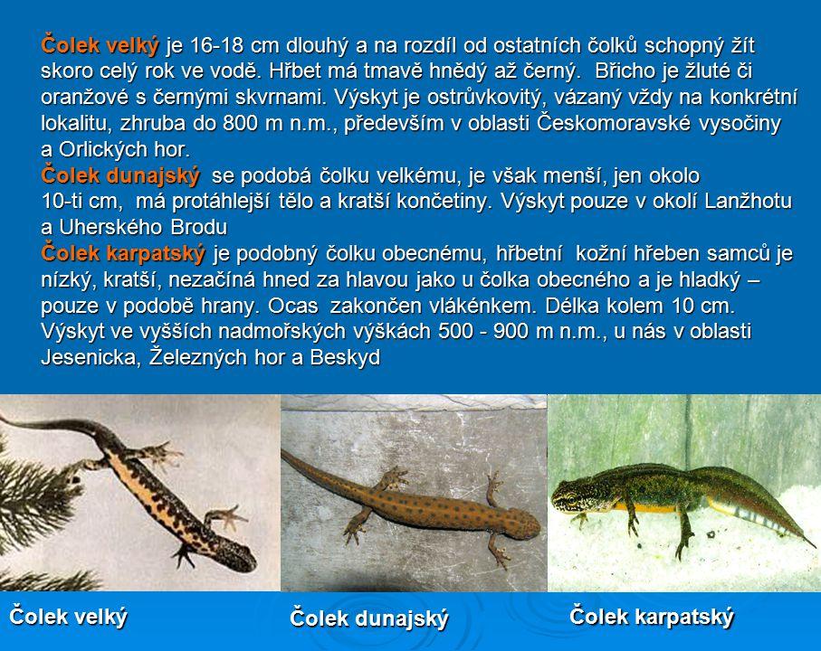 Čolek velký je 16-18 cm dlouhý a na rozdíl od ostatních čolků schopný žít
