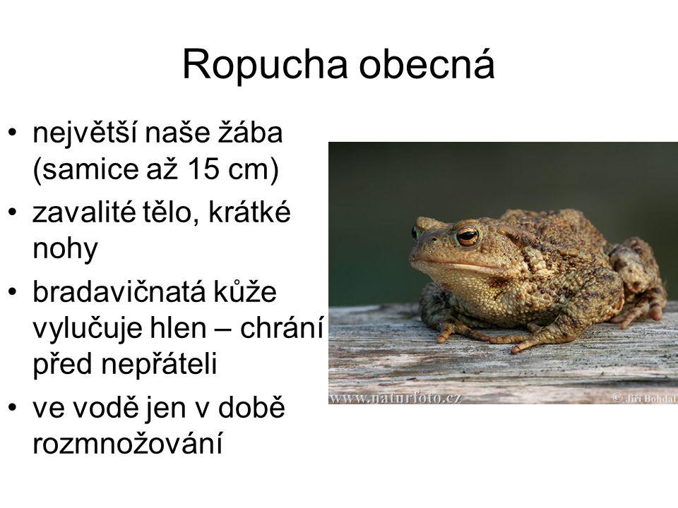 Ropucha obecná největší naše žába (samice až 15 cm)