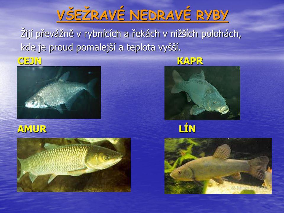 VŠEŽRAVÉ NEDRAVÉ RYBY Žijí převážně v rybnících a řekách v nižších polohách, kde je proud pomalejší a teplota vyšší.