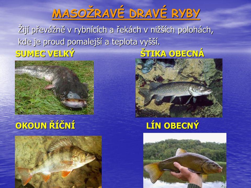 MASOŽRAVÉ DRAVÉ RYBY Žijí převážně v rybnících a řekách v nižších polohách, kde je proud pomalejší a teplota vyšší.