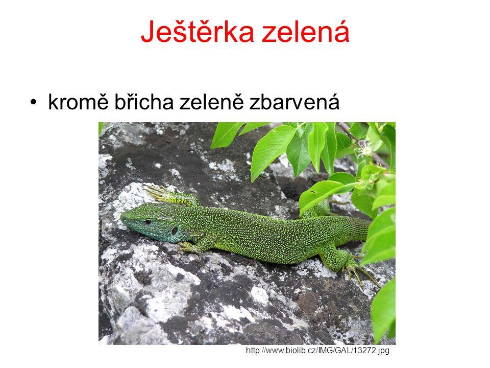 Ještěrka zelená kromě břicha zeleně zbarvená