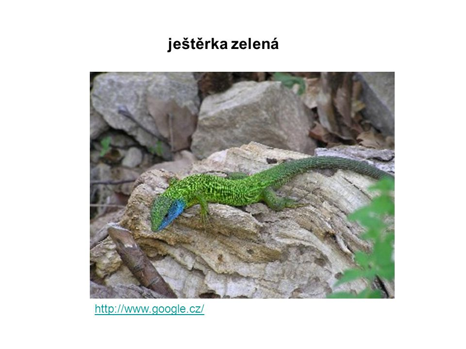 ještěrka zelená http://www.google.cz/