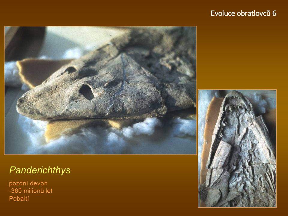 Panderichthys Evoluce obratlovců 6 pozdní devon -360 milionů let