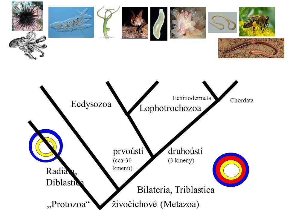Bilateria, Triblastica
