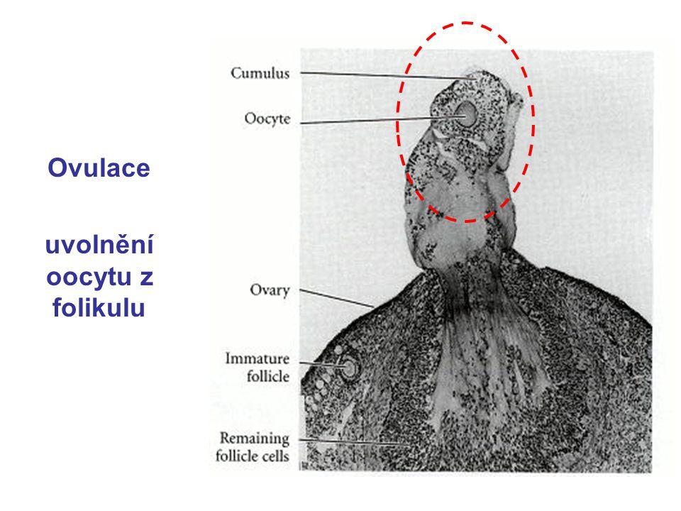 Ovulace uvolnění oocytu z folikulu