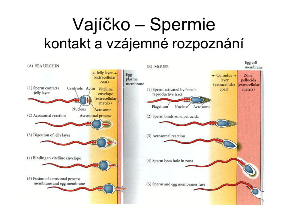 Vajíčko – Spermie kontakt a vzájemné rozpoznání