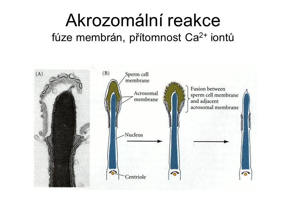 Akrozomální reakce fúze membrán, přítomnost Ca2+ iontů