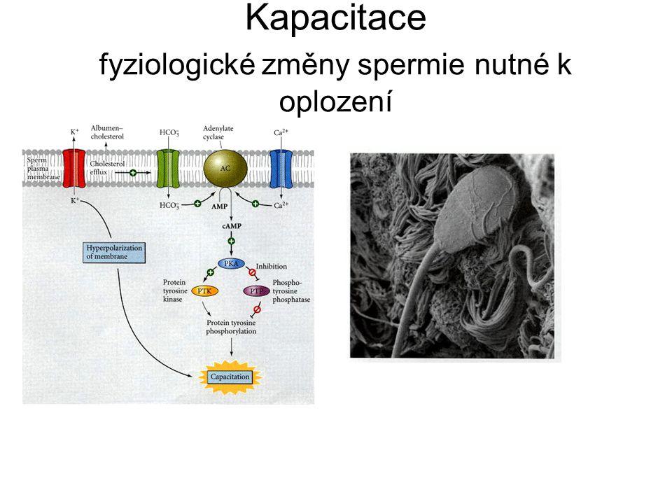 Kapacitace fyziologické změny spermie nutné k oplození