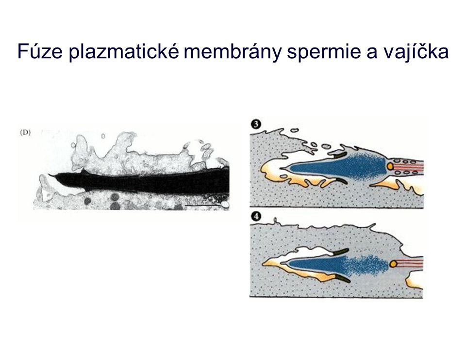 Fúze plazmatické membrány spermie a vajíčka