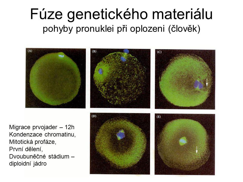 Fúze genetického materiálu pohyby pronuklei při oplozeni (člověk)