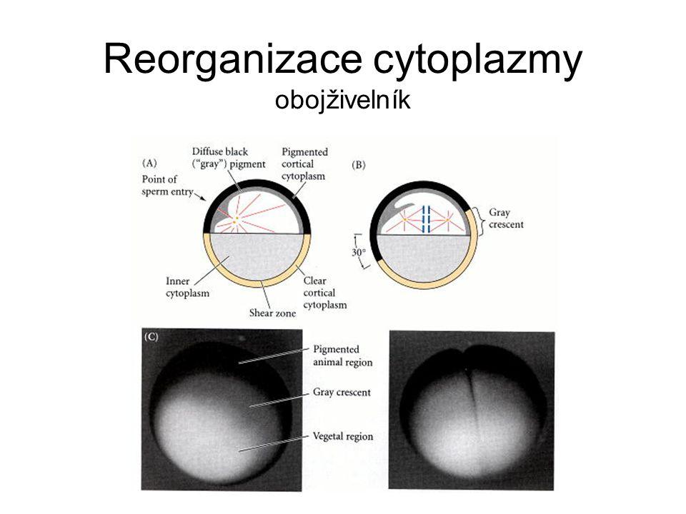 Reorganizace cytoplazmy obojživelník